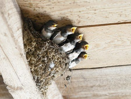 swallows-nest